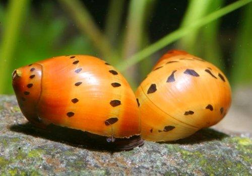 Улитка Неритина онион (Neritina sp.ONION)