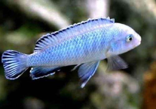 Псевдотрофеус Голубой Пиндани (Pseudotropheus socolofi)