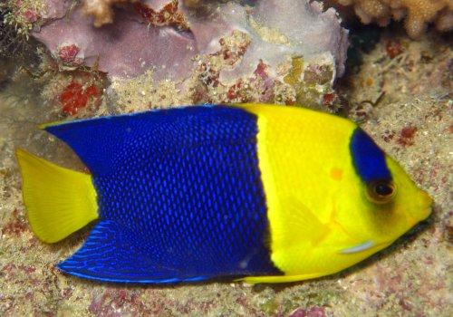 Центропиг сине-желтый (Centropyge bicolor)