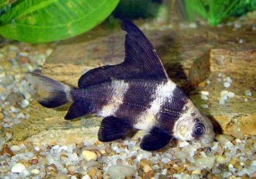 Парусник Миксоциприн (Myxocyprinus asiaticus)