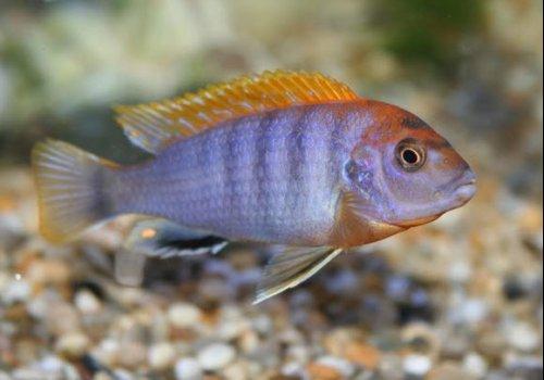 Лабидохромис Хонги (Labidochromis sp. Hongi)
