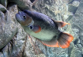 06-2.giant-red-tail-gourami