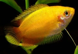 Golden-Honey-Gourami